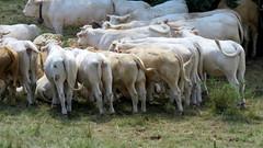 Belles btes (bernard.bonifassi) Tags: bb088 06 alpesmaritimes 2016 thiery vache troupeau counteadenissa