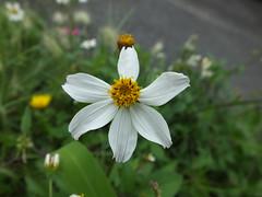 White and Yellow Star. (Jos Miguel S) Tags: macromondays stars macrophotography white flower estrella flor macro nature streetgarden dof depthoffield yellow smallflower