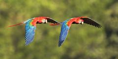 Scarlet Macaw (Araracanga) (Fabio Rage) Tags: scarlet macaw araracanga ara macao