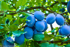 Group of fresh plums (radebg) Tags: raw closeup isolated natural group orchard season purple ripe leaf plum fresh pruning background healthy harvest agriculture nature summer food picking tree garden white blue prune organic green juicy fruit plant branch