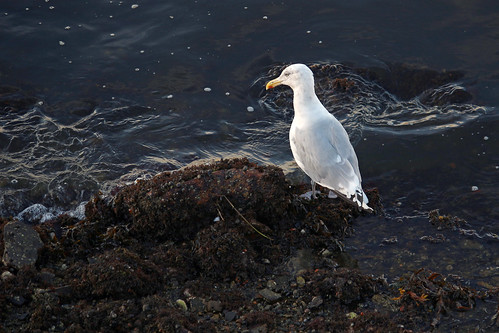 Seagull at Rocky Neck _2532