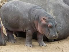 The Calf (Makgobokgobo) Tags: hippo pachyderm mammal masaimaranationalreserve masaimara mara kenya africa hippopotamusamphibius hippopotamus