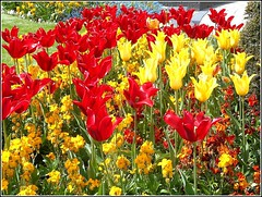 Springtime Image , (** Janets Photos **) Tags: ukeastyorkshire citycentres publicgardens tulips flowers flora colours red yellow