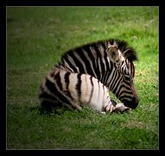 Young Punk (Seeing Things My Way...) Tags: zebra colt animal baby zoo dubbo nsw australia westernplainszoo tarongazoo