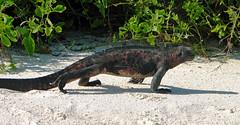 marine iguana striding out at gardner bay - espaola island, galpagos 2 (Russell Scott Images) Tags: colourful marineiguanaamblyrhynchuscristatussspvenustissimus beach espaolaisland islaespaola hoodisland galpagos equator gardnerbay sand