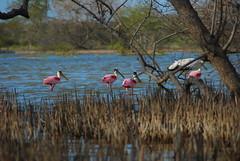 des canards roses ! (manolitarok) Tags: patos rosos pink duck