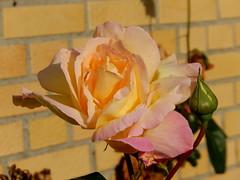 (Landanna) Tags: rose roos yello geel gul pink lyserd flower bloem blomst