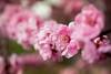 pink plum blossoms (Sam Scholes) Tags: pink flowers flower nature garden utah spring unitedstates blossoms saltlakecity springflowers floweringplum redbuttegarden rosefamily blireanaplum prenusxblireana