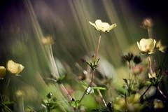 Rays (szpiegzkrainydeszczowcow) Tags: flowers light nature yellow rays kwiaty wiato przyroda ty zolty