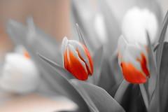 Spring Greeting... (iluminata_stefaniacd) Tags: blackandwhite orange flower nature spring nikon tulip tulpe