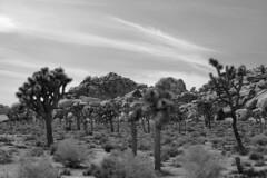 Joshua Tree National Park, 2015 (matt-artz) Tags: blackandwhite bw nationalpark desert joshuatree mojavedesert joshuatreenationalpark
