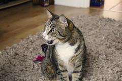 Styles high after a catnip Easter Egg (dchapman2602) Tags: uk pet cats pets animal animals cat kitten kitty purr meow milton keynes mk