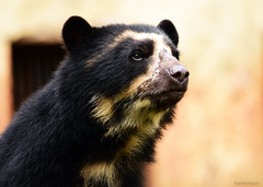 DSC_0916e1 (humbsmauro) Tags: bear brazil animals brasil photography zoo photo nikon foto bears animais urso ursos d5300