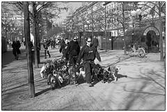 The dogwalk (stejo) Tags: leica dog dogs analog stockholm daycare streetphoto m6 dogwalk leicam6 kungsträdgården hundar daynursery analogt zeissbiogon352 hunddagis silvermax kindergartenfordogs