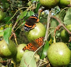 Butterfly on Pear, Sept 2011