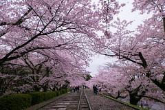 2 (Effy_skyl) Tags: flowers nature japan spring kyoto fuji bloom cherryblossom fujifilm fujinon xseries xa1 xmount xphotographers