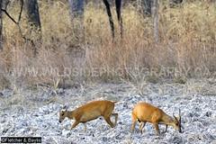 37939 Northern red muntjac (Muntiacus vaginalis) in a seasonal waterhole (trapeang) in dry deciduous forest during the dry season, Mondulkiri Protected Forest, Mondulkiri, Cambodia. IUCN=Least Concern. (K Fletcher & D Baylis) Tags: animal fauna mammal asia cambodia wildlife deer waterhole indochina muntjac barkingdeer mondulkiri muntiacus trapeang leastconcern wildsidephotography drydeciduousforest srepok fletcherbaylis easternplainslandscape northernredmuntjac muntiacusvaginalis mondulkiriprotectedforest srepokwildernessarea