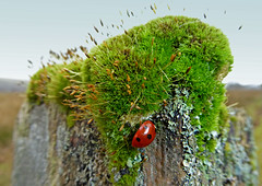 Early Ladybird (g crawford) Tags: macro insect ladybird ladybug crawford fencepost ayrshire northayrshire