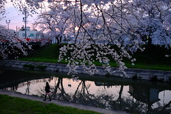 DSCF9508 (T Kato) Tags: flower tree nature japan river sakura fujifilm gifu kakamigahara xt1 shinsakai shinsakairiver xf23mmf14r hyakujuro