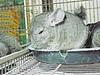 Chinchila (1) (jemaambiental) Tags: horse dogs birds fauna hamster cavalos cachorros coelho pássaros tigres macacos picapau ursos suricatas periquitos urubú escorpião faisão poneis chipanzés esqueletodecobra