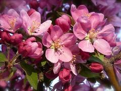 Cherry Blossoms (suenosdeuomi) Tags: newmexico santafe cherry blossoms cherryblossoms panasoniclumixdmcfz35