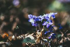 Rebirth in progress (side rocks) Tags: flowers flower nature finland spring purple awakening bloom nordic wilderness awake rebirth scandinavia tampere pyynikki blooming anemona hepatica vuokko sinivuokko kidneywort nordicnature anemonahepatica