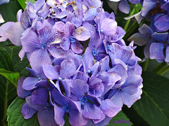 Blue Hydrangea (pat.bluey) Tags: flowers blue australia newsouthwales hydrangea 1001nights supershot 1001nightsmagiccity fagonpark
