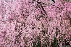 Kyoto, Japan - Celebrating Cherry Blossoms at Ryoanji Temple UNESCO Wolrd Heritage Site (Akiko Morita) Tags: world travel pink flower heritage tourism japan garden cherry temple site kyoto asia tour spirit blossoms buddhism visit unesco east zen spirituality spiritual visiting ryoanji