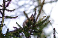 Orav (Jaan Keinaste) Tags: fauna spring squirrel estonia pentax eesti k3 kevad orav elusloodus pentaxk3