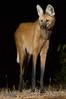 "Maned Wolf <a style=""margin-left:10px; font-size:0.8em;"" href=""http://www.flickr.com/photos/41134504@N00/17162892579/"" target=""_blank"">@flickr</a>"