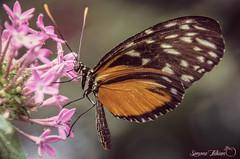 Butterfly At Work (meepeachii) Tags: orange flower butterfly germany insect deutschland insects blume makro insekt botanicalgarden augsburg schmetterling botanischergarten