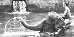 Bali 2015 (jdrobery) Tags: blackandwhite bali white elephant black nature animals swimming fun happiness safari elephants endangered playtime bnw thepinnaclehof