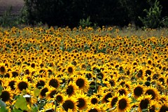 A sunflower crowd (]alice[) Tags: flowers flores flower field yellow jaune amarillo giallo sunflower campo fiori girasole girasoli fleures