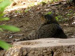(hamapenguin) Tags: animal cat blackcat neko  straycat