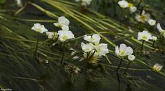 Renoncule des rivires (Ranunculus fluitans) - barrage des forges de chatillon sur la Loue (francky25) Tags: renoncule des rivires ranunculus fluitans barrage forges de chatillon sur la loue flore franchecomt doubs