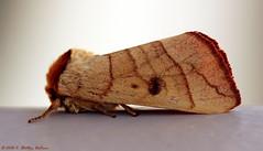 Spotted Datana Moth - Datana perspicua, Hodges # 7908 (Shmoo Shots) Tags: spotteddatana datanaperspicua moth lepidoptera insect mothweek macro