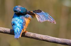 Kingfisher (caberdoz) Tags: lasauge switzerland martin pecheur kingfisher king bird