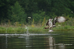 Up, Up & Away! (Louise Morris (looloobey)) Tags: aq7i5391 splashes water lake osprey rothiemurchus scotland aviemore hide fishing fish trout fishery july2016 early pandionhaliaetus