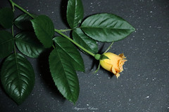 - Night of the rose (shig.) Tags: amberabundance amber rose roses flower flowers roze rosa yellow green black canon eos 70d    indoor
