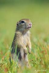Squirrel on guard (Jan Canck) Tags: nikon mammals spermophiluscitellus nature syselobecn europeangroundsquirrel nikon200500f56 rodents wildlife familyofsquirrels animals fauna d810 mladaboleslav centralbohemianregion czechrepublic cz