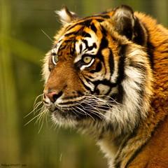 Tigre (Phil du Valois) Tags: tigre fauve flin prdateur carnassier faune sauvage parcdesflins