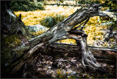 Roots ripped from the ground (ronnymariano) Tags: grass log moss landscape plants nature harrimanpark newyork 2016 dead trees depthoffield wood harrimanstatepark tree gnarled forest hiking treestump fallentree root unitedstates forestfloor lichen city southfields us