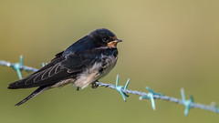 Swallow (Hirundo rustica). (dave.mcculley) Tags: bird nature outdoors wire wildlife perched swallow barbed hirundorustica