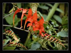 Montbretien Crocosmia 'Lucifer' (karin_b1966) Tags: plant flower nature garden blossom natur pflanze blume blte garten 2016 yourbestoftoday montbretiecrocosmialucifer