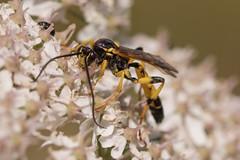 Ichneumon wasp (David R Owen) Tags: macro insect nikon wasp ditch devils sigma ichneumon dyke 105mm ichneumonidae d810