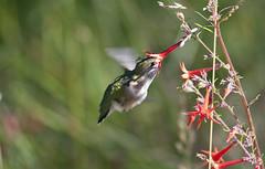 Symbiotic Relationship -- Broad-tailed Hummingbird (Selasphorus platycercus); Santa Fe National Forest; NM Thompson Ridge [Lou Feltz] (deserttoad) Tags: birdwildbirdwildlifenature nationalforest mountain hummingbird flower bloom behavior