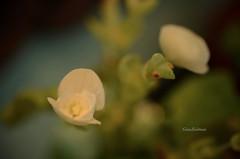 Happy Monday! (g.zeidman) Tags: flowers delicate lowlight romance