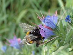 Hummel Blume Pollen Blte P7241302 (Thomas Rossi Rassloff) Tags: hummel blume pollen blte flgel fliegen bestuben natur
