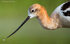American Avocet ( Recurvirostra americana) (Wildlife, Landscape & Cultural) Tags: americanavocet recurvirostraamericana american avocet recurvirostra americana kinan echtay kinanechtay canada alberta wild wildlife nature animals birds beauty nikon d4s 500mm nikkor tc14 bird animal outdoor