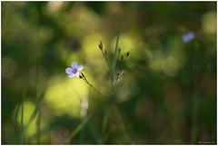Fleurette (Laurette.C) Tags: m42 trioplan 100mm meyeroptikgrlitz bokeh fleur lumire